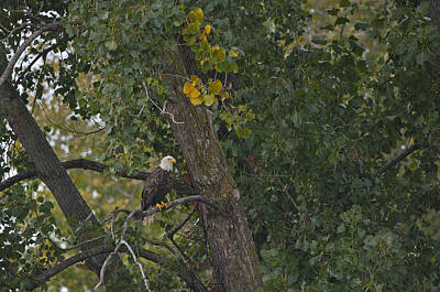 Photograph - Bald Eagle - 7706 by Jerry Owens