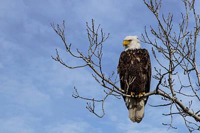 Eagle Photograph - Bald Eagle by Aaron J Groen
