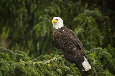 Eagle Photograph - Bald Eagle Alaska by Flip Nicklin