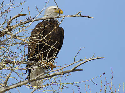 Photograph - Bald Eagle And Branches 2 by Eric Nielsen