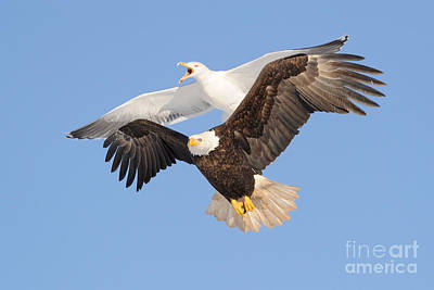 Photograph - Bald Eagle And Greater Black-backed Gull by Scott Linstead