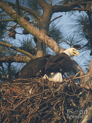 Photograph - Bald Eagle And Young by Sandra Clark