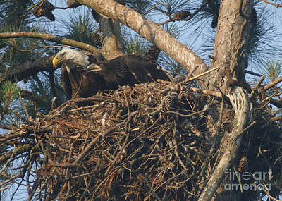 Photograph - Bald Eagle And Young Watching by Sandra Clark