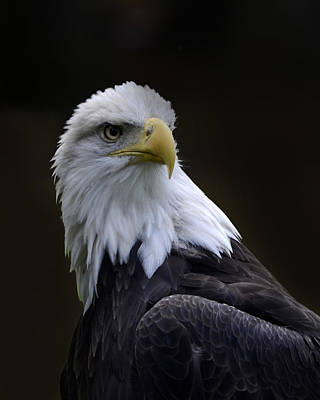 Photograph - Bald Eagle by Ann Bridges