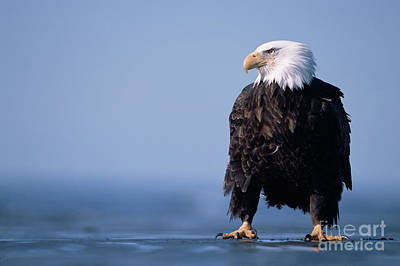 Photograph - Bald Eagle At Low Tide by Yva Momatiuk John Eastcott