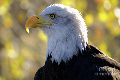Photograph - Bald Eagle Beauty by Kelly Black