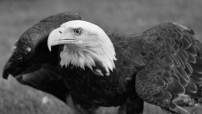 Eagle Photograph - Bald Eagle Black And White by Dan Sproul
