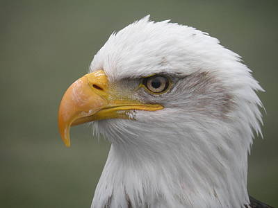 Photograph - Bald Eagle by Brian Chase