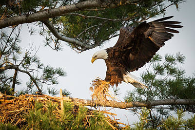 Juvenile Photograph - Bald Eagle Building Nest by Everet Regal