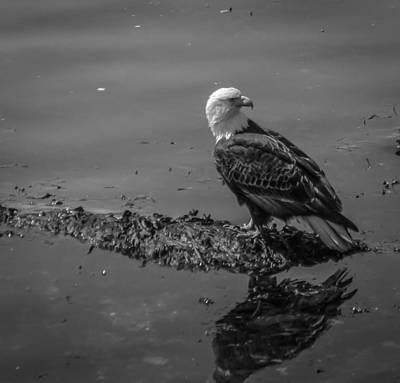 Photograph - Bald Eagle Bwv1 by Timothy Latta