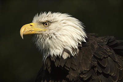 Photograph - Bald Eagle by Byron Jorjorian