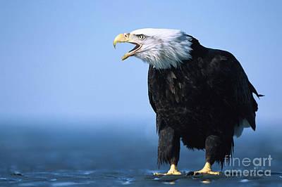 Photograph - Bald Eagle Calling by Yva Momatiuk John Eastcott