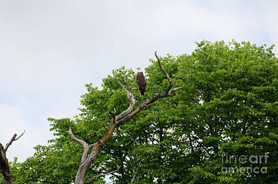 Photograph - Bald Eagle by Cassie Marie Photography