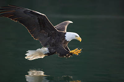 Bald Eagle Catching Fish Art Print by John Hyde