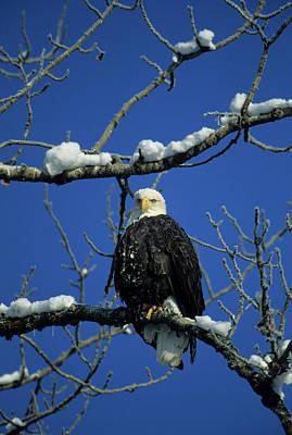 Bald Eagle, Chilkat River, Haines Art Print