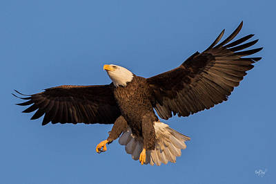 Animals Photos - Bald Eagle Christmas Morning by Everet Regal