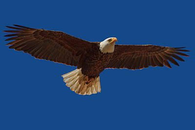 Photograph - Bald Eagle Close Encounter by Beth Sargent