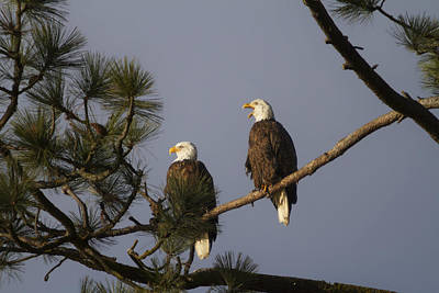 Photograph - Bald Eagle Couple by Mark Kiver