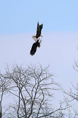 Bald Eagle Courtship Ritual  1337 Original