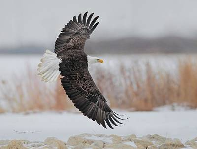 Photograph - Bald Eagle  by Daniel Behm