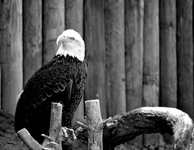 Photograph - Bald Eagle by Deena Stoddard