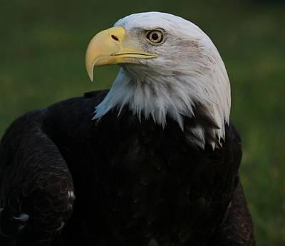 Photograph - Bald Eagle Details by Dan Sproul