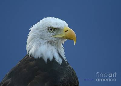 Photograph - Bald Eagle by E B Schmidt