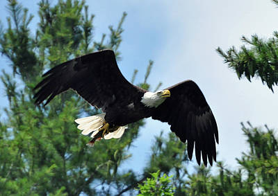Photograph - Bald Eagle Feeding 2 by Glenn Gordon