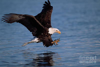 Photograph - Bald Eagle Fishing Kenai Peninsula by Yva Momatiuk John Eastcott