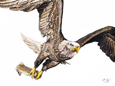 Eagles In Flight Drawing - Bald Eagle Fishing White Background by Aaron Spong