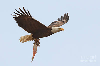 Photograph - Bald Eagle Fisn Dinner by Beth Sargent