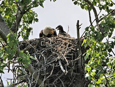 Eagle Photograph - Bald Eagle Fledging by Dan Sproul