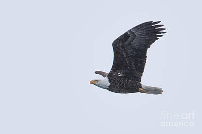 Photograph - Bald Eagle Fly By 1 by Ronald Grogan