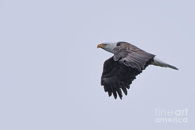 Photograph - Bald Eagle Fly By 10 by Ronald Grogan