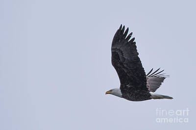 Photograph - Bald Eagle Fly By 11 by Ronald Grogan