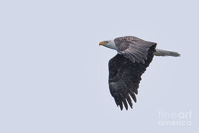 Photograph - Bald Eagle Fly By 4 by Ronald Grogan