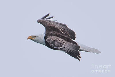 Photograph - Bald Eagle Fly By 9 by Ronald Grogan