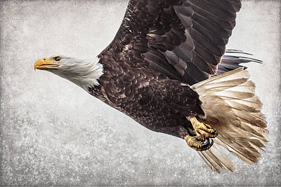 Photograph - Bald Eagle Fly By by Wes and Dotty Weber