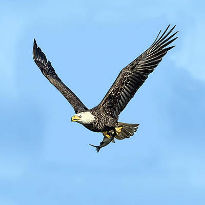 Photograph - Bald Eagle Flying Holding Freshly Caught Fish by William Bitman
