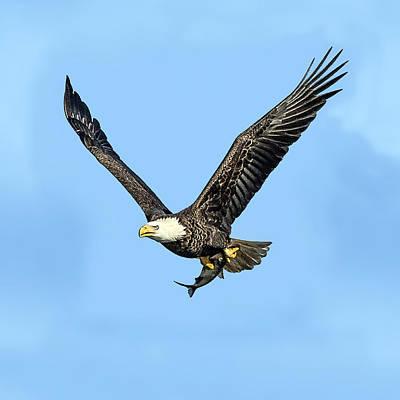 Bald Eagle Flying Holding Freshly Caught Fish Art Print