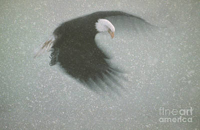 Digitally Manipulated Photograph - Bald Eagle Flying In Snow Storm by Ron Sanford