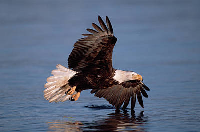 High Speed Photograph - Bald Eagle Flying Kenai Peninsula by