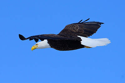 Photograph - Bald Eagle by Greg Norrell