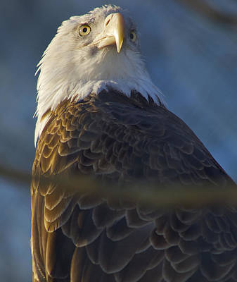 Photograph - Bald Eagle by Greg Vizzi