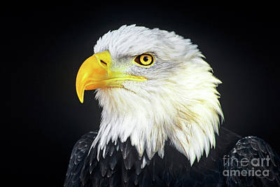 Photograph - Bald Eagle Hailaeetus Leucocephalus Wildlife Rescue by Dave Welling