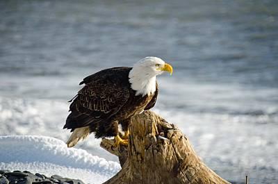Bald Eagle Homer Spit Alaska Art Print