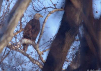 Photograph - Bald Eagle Hunting On Potomac River by Jeff at JSJ Photography