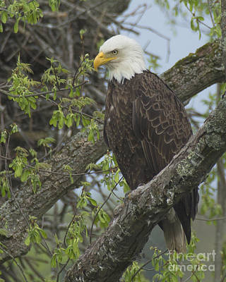 Photograph - Bald Eagle II by Deborah Smith