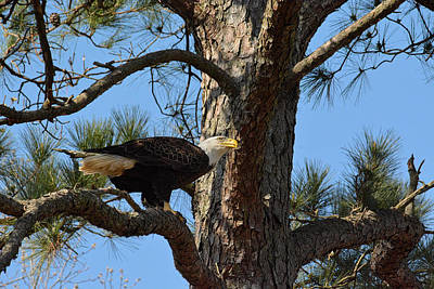 Photograph - Bald Eagle In A Pine Tree by Jai Johnson