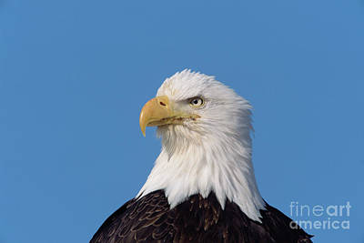 Photograph - Bald Eagle In Alaska by Yva Momatiuk John Eastcott